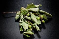 Ghiande e foglie della quercia in un cono di vetro su un fondo scuro Immagine Stock