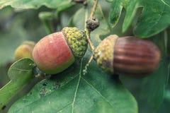 Ghiande e foglie verdi Fotografia Stock