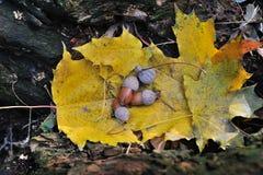 Ghiande sulle foglie di autunno gialle Fotografie Stock