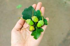 Ghiande verdi sulle foglie della quercia Fotografie Stock Libere da Diritti