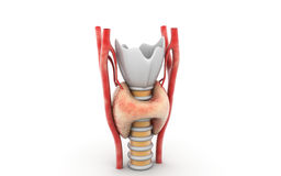 Ghiandola tiroide Immagine Stock Libera da Diritti