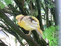 Ghigi golden yellow pheasant resting Stock Photography