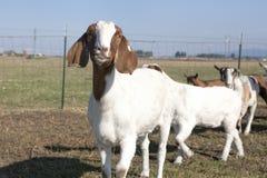 Ghignare della capra. Immagini Stock