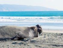 Gähnende Seelefanten Lizenzfreies Stockbild