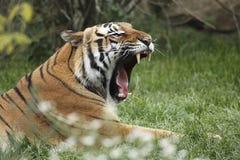 Gähnender Amur-Tiger Stockfotografie