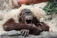 Gähnender Orang-Utan Lizenzfreies Stockbild