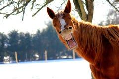 Gähnendes Pferd Stockfotos