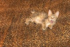 Gähnendes Pixiebob-Kätzchen auf Leopard-Blatt Stockbild