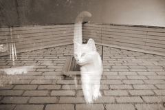 Ghost Cat Royalty Free Stock Image