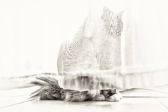 The ghost cat. A seal tortie point Birman female cat in observation behind lace curtains of the windows. Black and white fine art portrait of purebred cat. Seven Stock Images