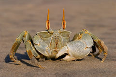 Ghost crab 04 Royalty Free Stock Images