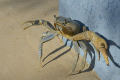 Ghost Crab. Backed against a wall Stock Photo