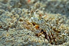 Ghost crab Royalty Free Stock Photos