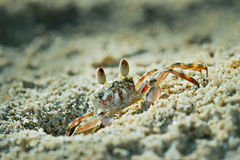 Ghost crab Stock Photos