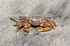Ghost crab Royalty Free Stock Photo