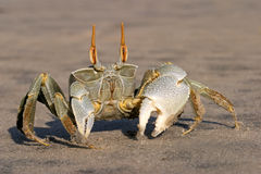 Ghost crab. Alert ghost crab (Ocypode spp. ) on the beach, Mozambique, southern Africa royalty free stock photography