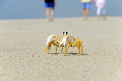 Ghost Crab on the beach Royalty Free Stock Images