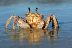 Ghost crab on beach. Alert ghost crab (Ocypode ryderi) on the beach, South Africa Stock Photo