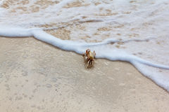 Ghost crab on a beach Royalty Free Stock Images