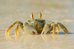 Ghost crab on beach Royalty Free Stock Image