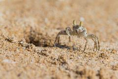 Ghost crab on beach Royalty Free Stock Images