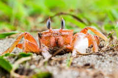 Ghost Crab On The Beach Royalty Free Stock Photography