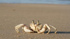 Ghost crab on beach stock video footage
