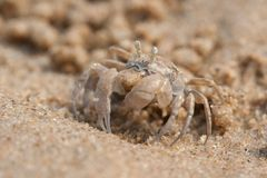 Ghost crab is on the beach Royalty Free Stock Photos