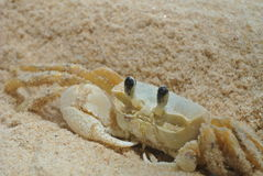Ghost crab. On the beach, Trancoso, Brazil Royalty Free Stock Image