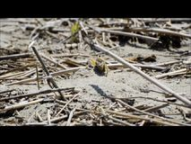 Ghost crab burrow excavation stock footage