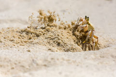 Ghost Crab Chucking Sand From Hole Royalty Free Stock Photo