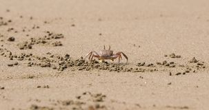 Ghost crab in the sand