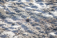 Ghost crab digging hole in the sand. Crab digging hole in the sand Royalty Free Stock Photography