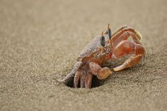 Ghost crab. On Ballena beach, Costa Rica Royalty Free Stock Photography