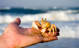 Ghost crab on hand Royalty Free Stock Photos