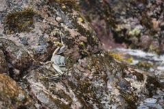 Ghost Crab, La Digue, Seychelles Stock Images