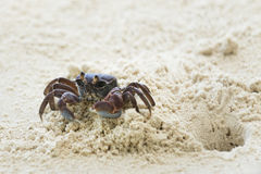 Ghost crab leaves its hole Stock Photo
