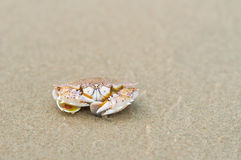 Ghost crab Royalty Free Stock Photography