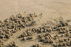 Ghost crab making sand balls on the beach. Small crab digging ho. Le Stock Photography