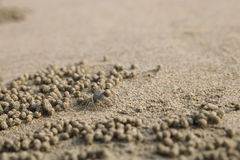 Ghost crab making sand balls on the beach. Small crab digging ho. Le Royalty Free Stock Photo