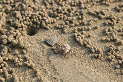 Ghost crab making sand balls on the beach. Small crab digging ho Stock Photography