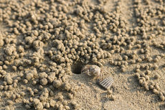 Ghost crab making sand balls on the beach. Small crab digging ho Royalty Free Stock Photography