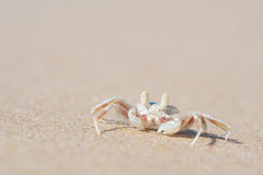 Ghost Crab - Moonee Beach, Australia Royalty Free Stock Photo