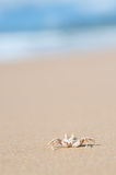 Ghost Crab - Moonee Beach, Australia Stock Photo