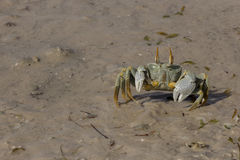 Ghost crab, Mozambique Royalty Free Stock Photography