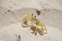 Ghost Crab (Ocypode quadrata). Ghost crab on the beach of the Saona Island, Dominican Republic Stock Photo