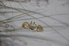 Ghost Crab (Ocypode quadrata) Royalty Free Stock Photo