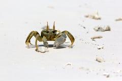 Ghost Crab (Ocypode quadrata). On white sand beach of Maldives Stock Photos