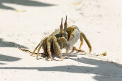 Ghost Crab (Ocypode quadrata) Royalty Free Stock Photography