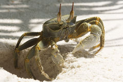 Ghost Crab (Ocypode quadrata). On white sand beach of Maldives Stock Images